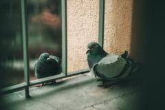 Un porumbel calator din Belgia a fost vandut catre un cumparator chinez la un pret record