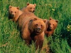 Un primar italian cere ca ursii din Tirolul de Sud sa fie trimisi in Romania