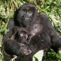 Un pui de gorilă de munte s-a născut în Parcul Naţional Virunga din RD Congo
