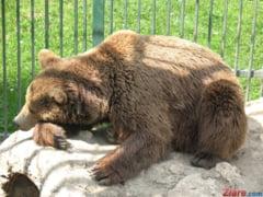Un pui de urs atat de flamand incat nu putea sa mearga a fost gasit intr-o padure din Busteni