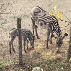 Un pui de zebra dintr-o specie pe cale de disparitie s-a nascut la un Zoo din UK (Video)