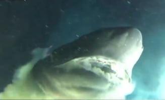 Un rechin urias a incercat sa muste un submarin plin cu oameni de stiinta (Video)