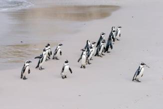 Un roi de albine a ucis o colonie de pinguini pe o plajă din Cape Town
