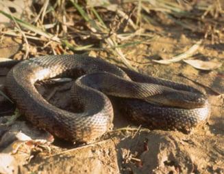 Un sarpe cum nu s-a mai vazut pana acum - e supranumit Fecioara Maria a reptilelor