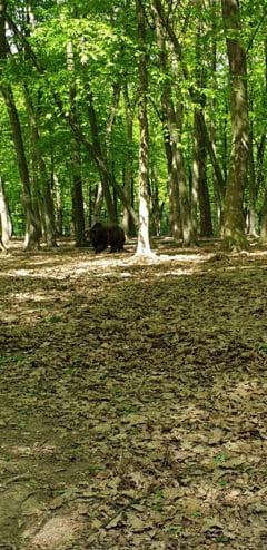 Un senator UDMR cere aprobarea Guvernului ca sa poata fi omorati ursi ... preventiv