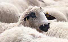 Un sofer a intrat cu masina intr-o turma de oi: 14 animale au murit