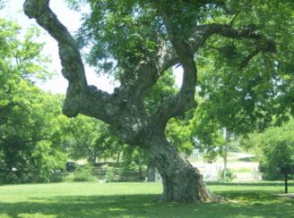Un stejar batran, de aici, din Kingsland.