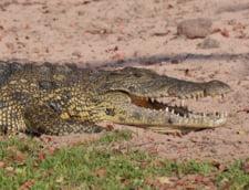 Un stramos al crocodilului, cu dinti asemanatori celor ai unui T-rex, a fost descoperit in Africa (Video)