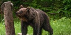 Un tanar de 28 de ani din Voslabeni, atacat de urs
