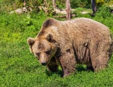 Un urs a fost lovit de patru autoturisme, pe A1 Sibiu - Deva