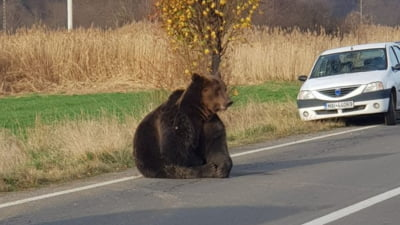 Un urs lovit de masina in Harghita a fost lasat de autoritati in agonie 12 ore pe sosea. UPDATE Acum e asteptata autorizatia de la Bucuresti sa fie ucis