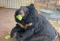 Un urs obez a fost pus la dieta si nu-i place deloc. Fata sa spune totul!