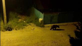Un urs ranit, in cautare de hrana prin Predeal