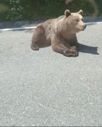 Un urs tolanit la soare a fost filmat pe o sosea din Vrancea. Este cunoscut in zona VIDEO