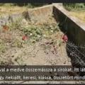 """Urs acuzat ca profaneaza morminte intr-un cimitir din Harghita: """"Nu s-a atins pana acum de pietrele funerare. Manca flori si lumanari"""" VIDEO"""