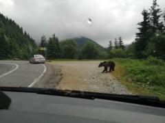 Urs semnalat pe Transfagarasan. ISU a transmis mesaj RO-Alert si cere turistilor sa nu hraneasca animalul