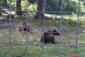Ursi hraniti de cativa barbati cu mancare pentru caini, langa Lacul Sfanta Ana, desi este ilegal si s-au inmultit intalnirile cu oamenii