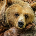 Ursii agresivi vor putea fi impuscati: ordonanta de urgenta este aproape de aprobare. Ce cuprinde actul normativ
