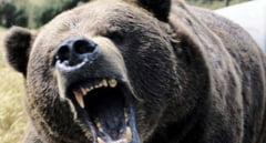 Ursii ataca la Mures! Doi ciobani au ajuns la spital