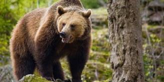 Ursii au atacat, vineri, un vacar de 58 de ani din Lunca de Jos si o femeie din Siculeni