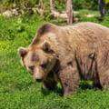 Ursii au iesit iar pe traseele montane. Jandarmii au intervenit de 20 de ori in doua saptamani