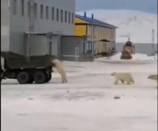 Ursii din Siberia alearga dupa masinile de gunoi, in cautarea hranei VIDEO