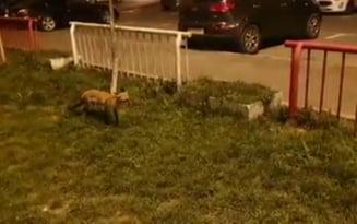 Ursul, pacalit din nou de vulpe, iar un brasovean a filmat totul! Daca Mos Martin poate fi alungat din zonele locuite, cumatra pleaca doar cand vrea ea VIDEO