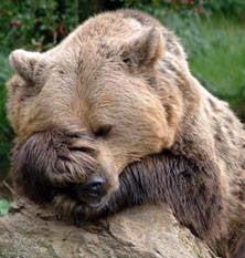 Ursul brun, o specie in mare pericol in Romania