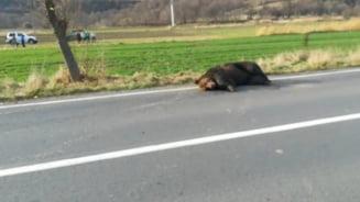 Ursul lasat in agonie pe sosea a fost impuscat. Ministrul Mediului spune cine a gresit: Veterinarul de acolo nu avea tranchilizant