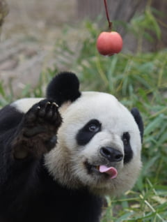 Ursul panda gigant, o adevarata enigma biologica