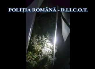 VIDEO Barbat arestat preventiv dupa ce ar fi infiintat o cultura de cannabis intr-un imobil din Voluntari