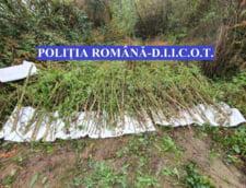 VIDEO Cluj: Peste 142 de kilograme de plante de cannabis, gasite in urma unor perchezitii