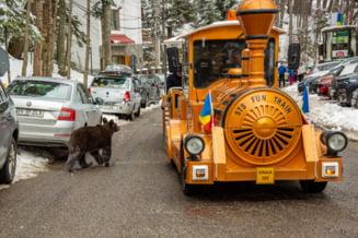 VIDEO FOTO Imagini care taie rasuflarea filmate in Sinaia. Ursi plimbandu-se agale printre masini si oameni intr-o zi turistica plina