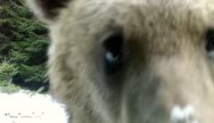 VIDEO Imagini amuzante cu un pui de urs care gaseste o camera video montata in Parcul Piatra Craiului