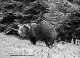 VIDEO Imagini inedite cu mai multi ursi care se pregatesc de hibernare in Piatra Craiului