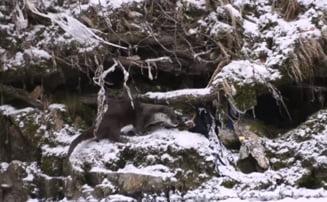 VIDEO Imagini spectaculoase cu o vidra care se joaca, surprinse in Defileul Jiului
