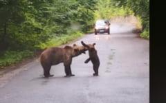 VIDEO Imagini superbe in Romania: o ursoaica a iesit la joaca cu puiul pe sosea. Spectacolul rarisim a fost filmat
