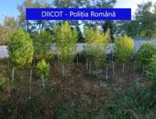VIDEO Livada de cannabis. Plantele confiscate de politie, in urma unor descinderi in Mures si Cluj, aratau ca niste copacei. Mai multi traficanti au fost retinuti