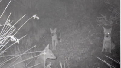 """VIDEO Sacali aurii, surprinsi intr-o padure din Tulcea: Filmare cu urletele """"deranjante si infricosatoare"""" ale animalelor"""