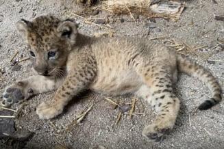 VIDEO Un pui de leu, conceput prin inseminare artificiala, s-a nascut la gradina zoologica din Singapore