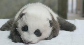 """VIDEO Un pui de panda nascut la o gradina zoologica din Washington se va numi """"Micul miracol"""". Care este motivul"""