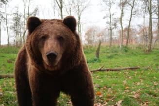 VIDEO Ursul care a urmarit un schior pe partie, mutat intr-o padure din vestul tarii