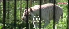 VIDEO din gradina Zoologica de la Bucov. Cum s-au adaptat tigrii si leii adusi de la Circul Globus
