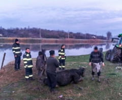 Vaca salvata din mlastina, de pompierii giurgiuveni! (FOTO)