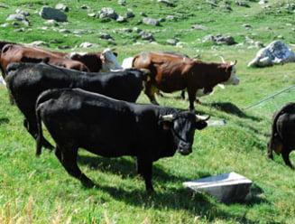 Vaci modificate genetic ca sa dea lapte matern