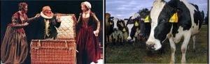 Vacile dau mai mult lapte daca se uita la piese de Shakespeare