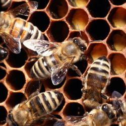 Veninul albinelor de scapa de dureri