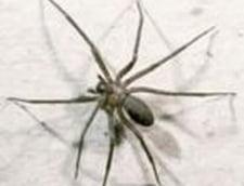 Veninul de paianjen poate trata disfunctiile erectile si Alzheimerul