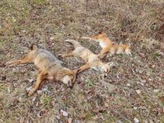 Verificari la Ocolul Silvic Focsani, dupa ce un turist a fotografiat vulpi si sacali ucisi in Rezervatia Naturala Padurea Merisor