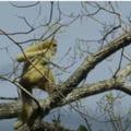 Vesti bune despre cea mai rara primata din lume! Poate fi gasita doar intr-un petic de padure din China